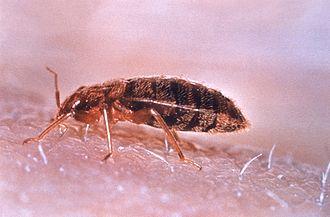 Hematophagy - A bedbug