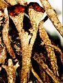 Cladonia rei-4.jpg