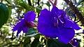 Claw orchid, Jardim Tropical (Monte, Funchal) (24245289698).jpg