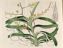 Cleisostoma paniculatum (as Aerides paniculata) - The Bot. Reg. 3 pl. 220 (1817).jpg