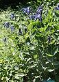 Clematis integrifolia 01.jpg