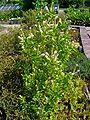 Clethra alnifolia 001.JPG