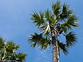 Climbing the Toddy palm trees (10808721765).jpg