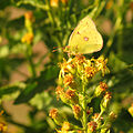 Clouded Yellow (15748438529).jpg