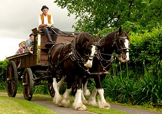 Clydesdale horse - Two New Zealand Clydesdales pulling a wagon