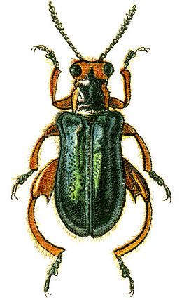 Clytraxeloma cyanipennis