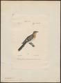 Coccystes glandarius - 1842-1848 - Print - Iconographia Zoologica - Special Collections University of Amsterdam - UBA01 IZ18800255.tif
