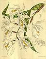 Coelogyne cristata - Curtis' 139 (Ser. 4 no. 9) pl. 8477 (1913).jpg