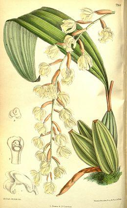 Coelogyne veitchii - Curtis' 127 (Ser. 3 no. 57) pl. 7764 (1901)