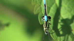 File:Coenagrion puella.ogv