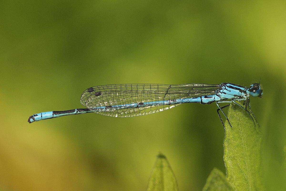 azure damsel flies fly - photo #47