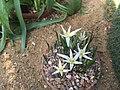 Colchicum soboliferum 04.jpg