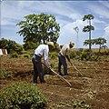 Collectie Nationaal Museum van Wereldculturen TM-20029720 Landarbeiders bewerken de grond ten behoeve van groenteteelt op Plantage Aruba Bonaire Boy Lawson (Fotograaf).jpg