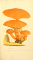 Coloured Figures of English Fungi or Mushrooms - t. 77.png