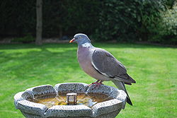 Columba palumbus -garden fountain-8a.jpg