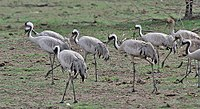 Common Cranes (Grus grus)- Adults & Immatures at Bharatpur I IMG 5659.jpg