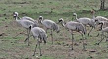 Grus grus - Wikipedia, la enciclopedia libre