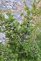 Common Juniper (Juniperus communis) - Nesodden, Norway 2020-09-20.jpg