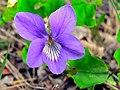 Common Violet (Viola odorata) (8337402801).jpg