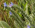 Common Viper's Bugloss (Echium vulgare) - Kitchener, Ontario 01.jpg
