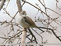 Common Whitethroat (Sylvia communis) (31560169768).jpg