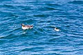 Common murre (36386518621).jpg