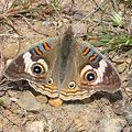 Commonbuckeye.JPG