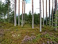 Coniferous forest in Sweden near the Svartälven river 10.jpg
