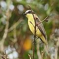 Conopias trivirgatus-Three-striped Flycatcher.JPG