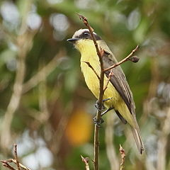 Conopias trivirgatus-Three-striped Flycatcher.JPG
