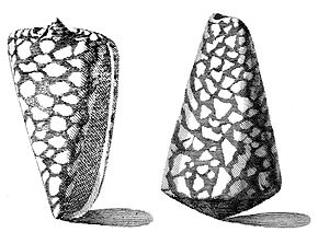 Description de l'image  Image:Conus-marmoreus-001.jpg .