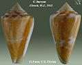 Conus burryae 2.jpg