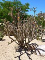 Coonly Garden, Buckhorn Cholla, Cylindropuntia acanthocarpa, Spring at the Mayo Clinic, North Phoenix, AZ, 2013 - panoramio.jpg