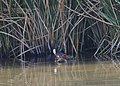 Coot with Chicks (14273852174).jpg
