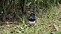 Copsychus saularis @ Kuala Lumpur (4s, p2).jpg