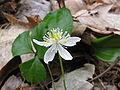 Coptis trifolia 1407.JPG