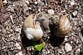 Copulating roman snails Helix pomatia (9003233314).jpg