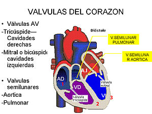 English: Heart Valves Español: Válvulas del Co...