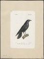 Corvus corone - 1842-1848 - Print - Iconographia Zoologica - Special Collections University of Amsterdam - UBA01 IZ15700219.tif