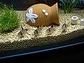 Corydoras panda raneko.jpg
