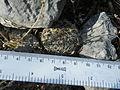 Coryphantha delicata (5686094655).jpg