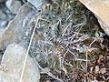 Coryphantha nickelsiae (5707249233).jpg