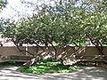 Cotoneaster Lacteus, UNM Arboretum, Albuquerque NM.jpg