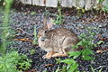 Cottontail Rabbit in West Hartford, Connecticut 1.jpg