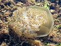 Cotylorhiza tuberculata - Mar Menor (Los Alcázares, Murcia, Spain) 02.JPG