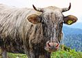 Cow on a mountain pasture.jpg