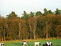 Cows grazing near Mag Wood - geograph.org.uk - 1435246.jpg