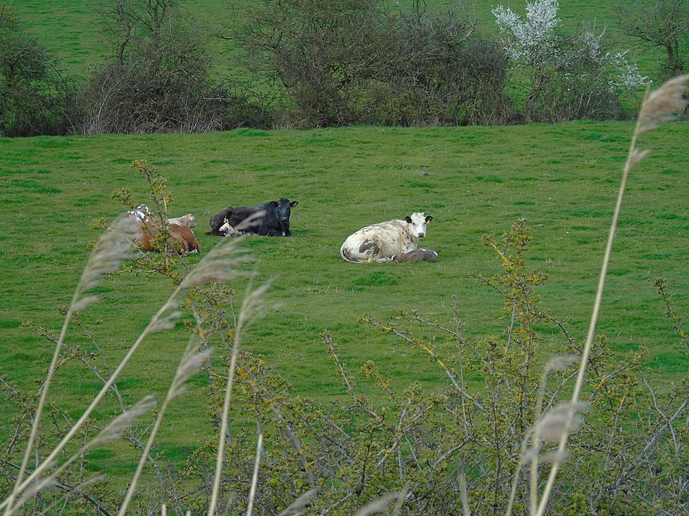 Cows resting in field viewed from Woodland Trail at Newport Wetlands RSPB Reserve
