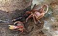 Crabs of Seychelles 03.jpg