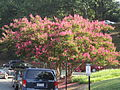 Crepe myrtle tree at Univ. of VA IMG 4278.JPG